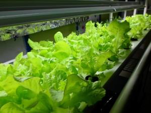 mature_lettuce