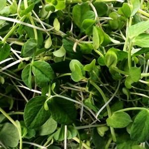 microgreens-green1