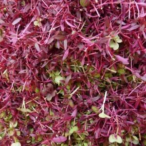 microgreens-red1